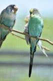 Милые пары пастельного Budgies сидя на ветви дерева Стоковое Изображение