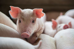 Милые поросята в свиноферме Стоковые Фото