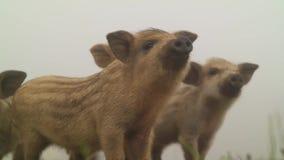 Милые свиньи в природе сток-видео