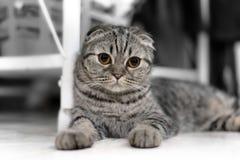 Милые сны кота, створка Scottish стоковая фотография