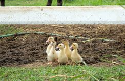 Милые утки младенца Стоковая Фотография RF