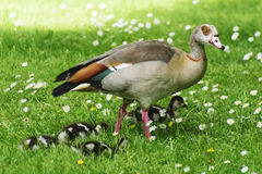 Милые утки младенца Стоковое фото RF