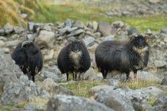 Милые черные овцы Стоковое фото RF