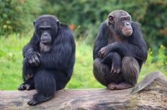 Милые шимпанзе Стоковое Изображение