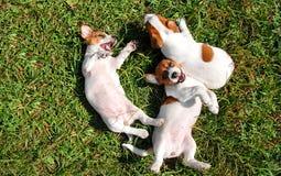 Милые щенята играя outdoors Стоковые Изображения