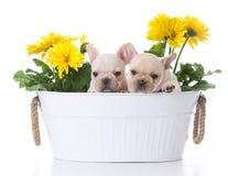 милые щенята французского бульдога Стоковое фото RF