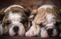 Милые щенята Стоковое Изображение