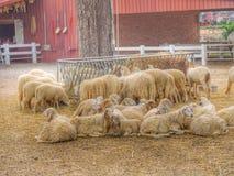 милые sheeps Стоковое Изображение