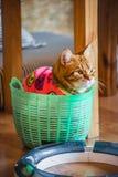Милый американский кот коротких волос Стоковые Изображения RF