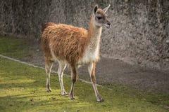 Милый лам на зоопарке в Берлине Стоковые Фото
