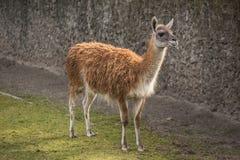 Милый лам на зоопарке в Берлине Стоковые Фотографии RF