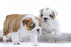 Милый английский щенок собаки бульдога Стоковое Изображение