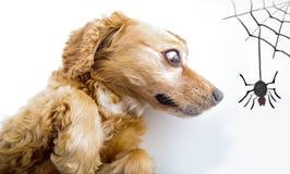 Милый английский щенок Spaniel кокерспаниеля смотря вспугнутый Стоковые Изображения RF