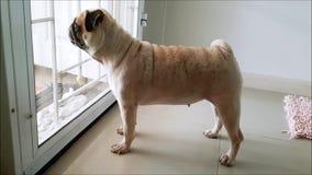 Милый бег собаки мопса к двери и лаять к кто-то для того чтобы прийти домой видеоматериал