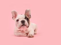 Милый белый и коричневый щенок французского бульдога лежа вниз на розовой предпосылке Стоковые Фотографии RF