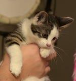 Милый белый котенок с серыми нашивками стоковое фото rf