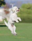Милый белый мужской щенок пуделя стоковые изображения rf