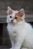 Милый белый & оранжевый котенок Стоковое фото RF