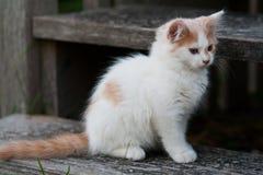 Милый белый & оранжевый котенок Стоковое Изображение RF