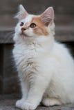 Милый белый & оранжевый котенок Стоковые Фотографии RF