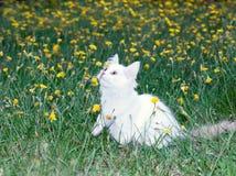 Милый белый пушистый играть кота стоковое изображение