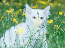 Милый белый пушистый прятать кота стоковые фотографии rf