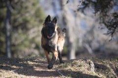 Милый бельгийский щенок чабана Стоковое Изображение RF