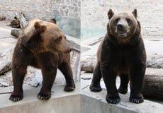 Милый бурый медведь коричневый цвет медведя большой Стоковое Фото