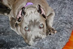 Милый взгляд corso тросточки mastiff 4 месяцев старый итальянский Стоковые Фото