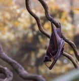 Милый висеть летучей мыши вверх ногами на ветви на желт-коричневой предпосылке Сингапуре Стоковое Изображение RF