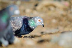 Милый голубь Стоковое фото RF