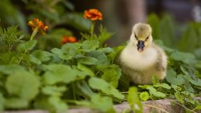 Милый гусенок в зеленой траве сток-видео