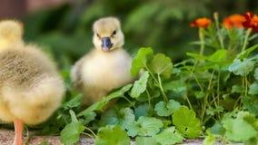 Милый гусенок в зеленой траве видеоматериал