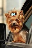 Милый декоративный йоркширский терьер собаки смотрит вне окно th Стоковая Фотография RF