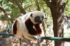 Милый лемур в Мадагаскаре Стоковые Фотографии RF