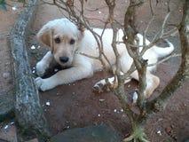милый золотистый retriever щенка Стоковые Фотографии RF