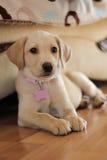 Милый золотой щенок labrador Стоковое Изображение