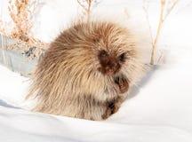 Милый дикобраз сидя в снеге стоковые изображения rf