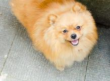 Милый и красивый pomerian щенок Стоковое Изображение RF