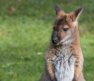 Милый кенгуру Беннета на луге Стоковое Изображение RF