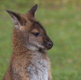 Милый кенгуру Беннета на луге Стоковые Фото