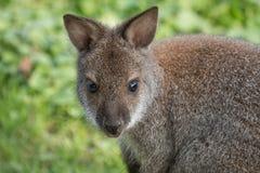 Милый кенгуру Беннета на луге Стоковая Фотография