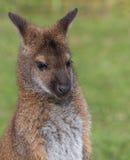 Милый кенгуру Беннета на луге Стоковые Изображения