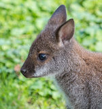 Милый кенгуру Беннета на луге Стоковое фото RF