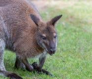 Милый кенгуру Беннета на луге Стоковое Фото