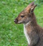 Милый кенгуру Беннета на луге Стоковое Изображение