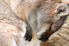 Милый конец wallaby вверх Стоковые Фотографии RF
