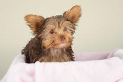 Милый коричневый йоркширский терьер в кровати розового одеяла против Стоковая Фотография