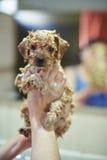 Милый коричневый щенок в руках девушки Стоковые Изображения