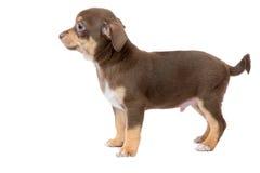Милый коричневый щенок чихуахуа Стоковая Фотография